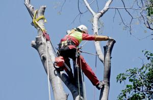 abilitati treclimbing eseguo la potatura degli alberi anche dove un cestello sarebbe impossibile utilizzarlo